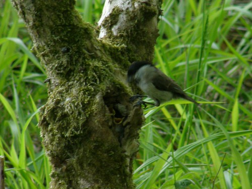 Marsh tit with nest and young