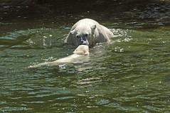 Eisbär Siku mit einem Jungtier von Huggies im Ouwehands Dierenpark