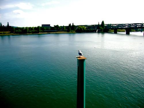 Portland waterfront seagull