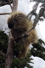 Porcupine in winter 4170