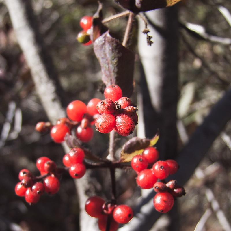 Gooseberry, Pulgas Ridge Open Space Preserve