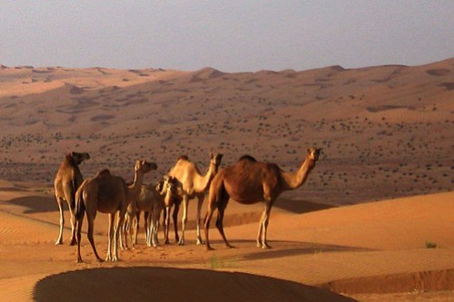 Camels in the Wahiba