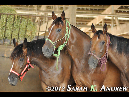 Three Bay Mares