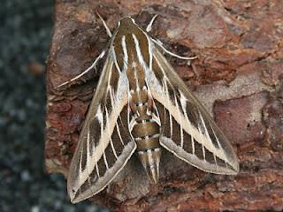 1990-striped-hawk-moth-hyles-livornica-c