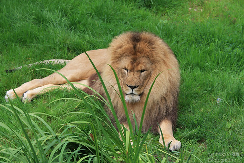 07082012-IMG_4524 - Lion au ZOO de CERZA by Yannick BARBIER