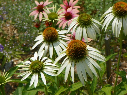 Echinacea Alba and Sunset