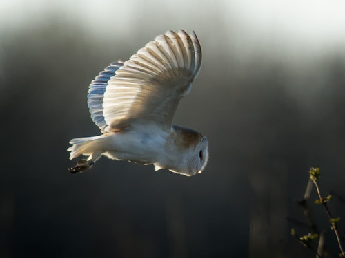 Barn Owl-profile