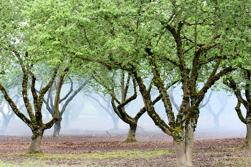 smokey orchard