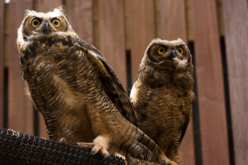 Juvenile Great Horned Owls 2