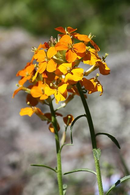 Western Wallflower (Erysimum asperum)