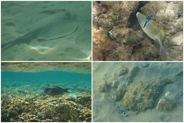 Agyptenfisch1