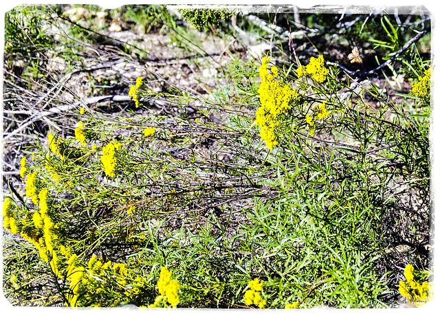 Yurtistan Yellow