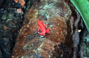 Una de las dos ranas rojas que pude ver aunque se escuchan cientos de ellas Bocas del Toro, escondido destino vírgen en Panamá - 7598295102 ffea2ccf37 o - Bocas del Toro, escondido destino vírgen en Panamá