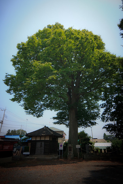 #75 The Giant Zelkova of Tomonuma Hachiman Shrine