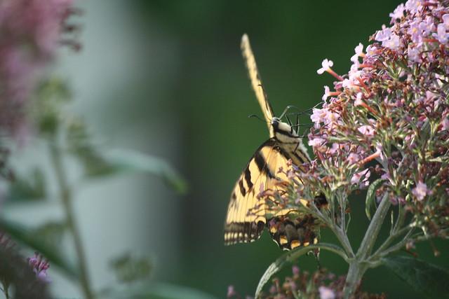 yellow swallowtail 3