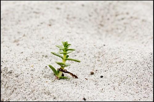 Strandpflanze
