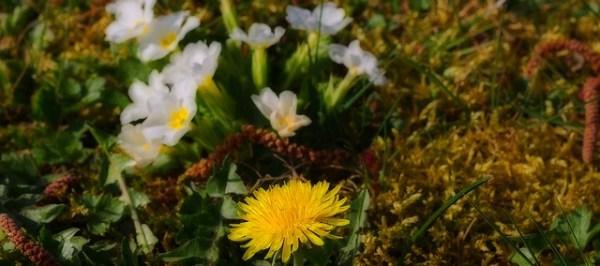 pissenlit - Taraxacum officinale - dent de lion - couronne de moine