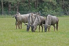 Südliche Streifengnus im Knuthenborg Safaripark
