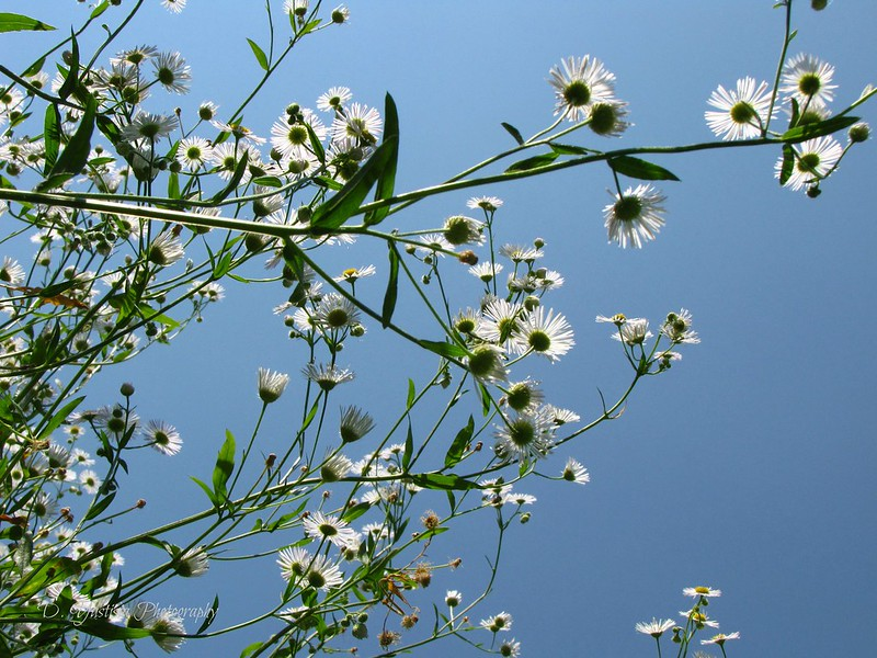 Aster with Blue Sky