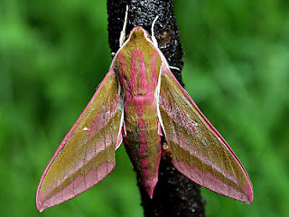 1991-elephant-hawk-moth-a-deilephila-elpenor
