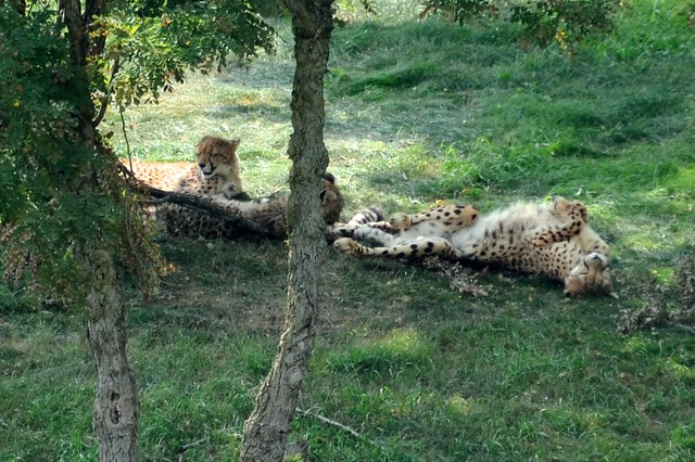 Silly Cheetah Family