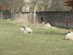 Langar Lambs
