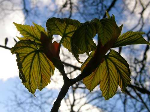New sycamore leaves