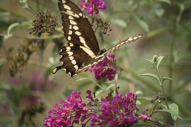 Giant Swallowtail1