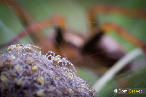 Raft spider guards her hatchlings