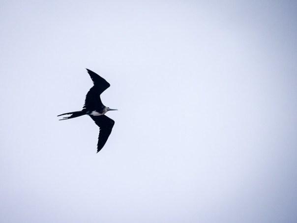 A Magnificent Frigatebird