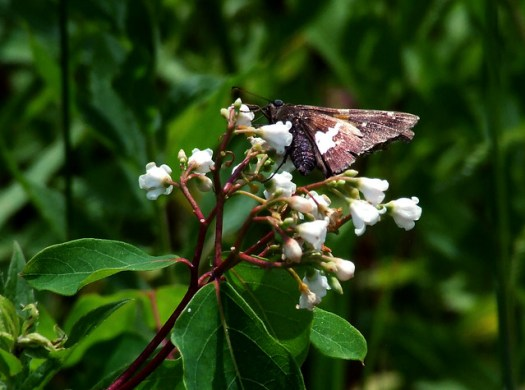spreading dogbane with silver-spotted skipper