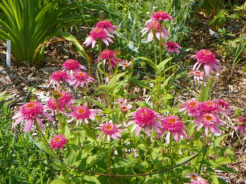 Echinacea Double Delight