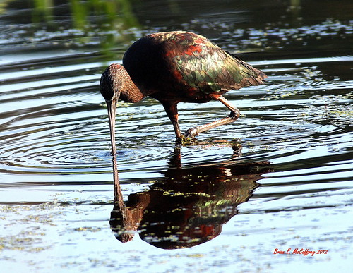 Ibis reflection