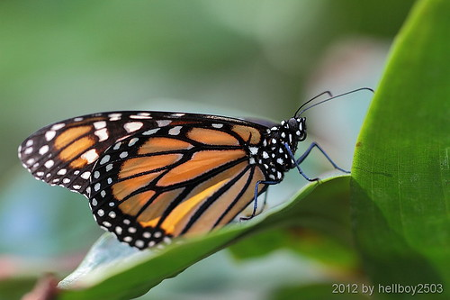 Schmetterlinge (Lepidoptera) by hellboy2503