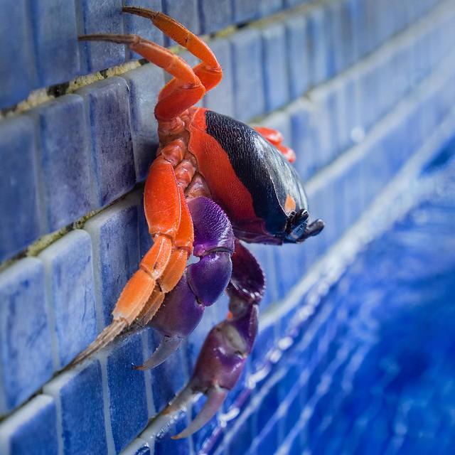 Halloween Crab (By dingatx)