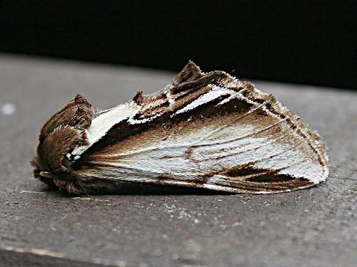 2006 Lesser Swallow Prominent Pheosia gnoma TLNR Aug 2012