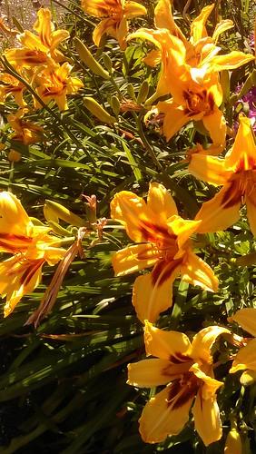 Daylily Hemerocallis Bonanza