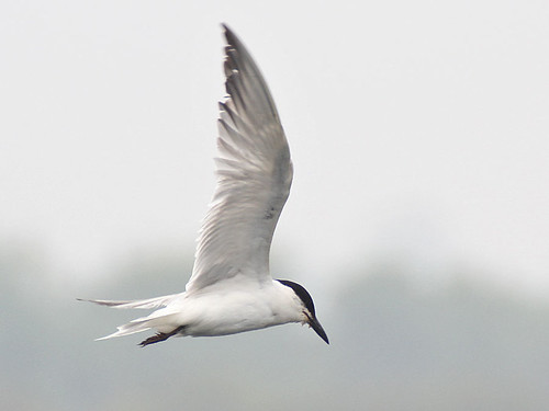 gull-billed-tern1