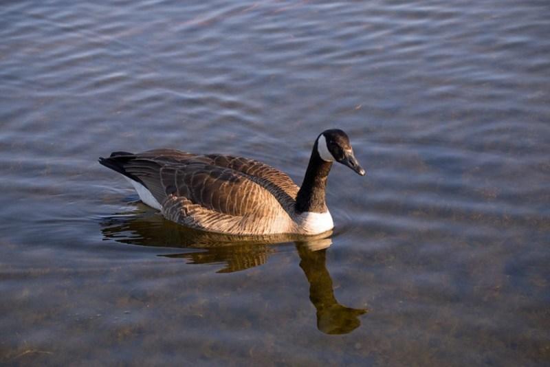 _DSC7945 Canada Goose