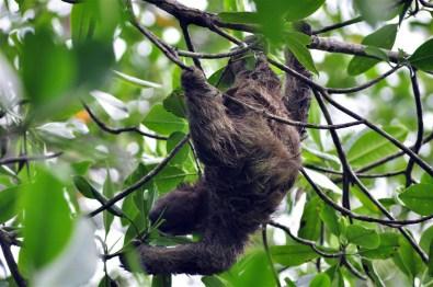 Los Osos Perezosos son habitantes habituales de la Isla Bastimentos Bocas del Toro, escondido destino vírgen en Panamá - 7598218924 d8dc128fb7 o - Bocas del Toro, escondido destino vírgen en Panamá