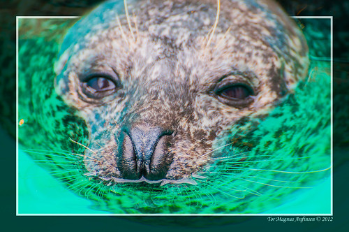 Seal at the aquarium in Bergen by Tor Magnus Anfinsen