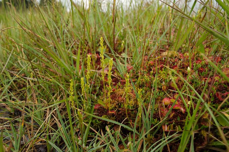 Veenmosorchis groeit normaliter op de flanken van Veenmosbulten.
