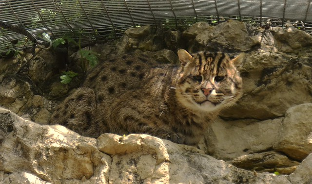 Fishing Cat Observing Me
