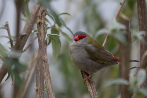 Red-browed Firetail 2012-07-06 (_MG_0663)