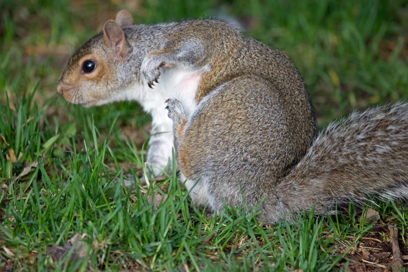 _DSC8529 Squirrel