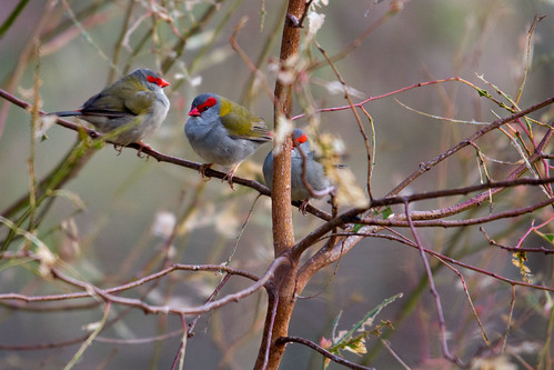 Red-browed Firetails 2012-03-26 (_MG_5125)
