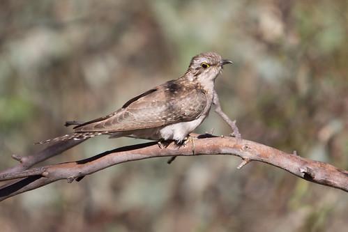 Pallid Cuckoo 2012-11-04 (_MG_6361)