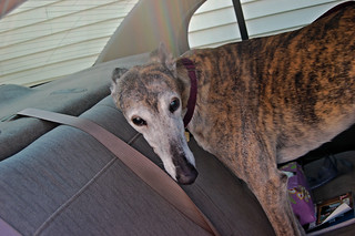 Worried aging greyhound settles into back seat