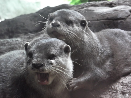 two fluffy young otters, one opening its mouth as if shouting in deilght, the other behind her looking over her head, doe-eyed.