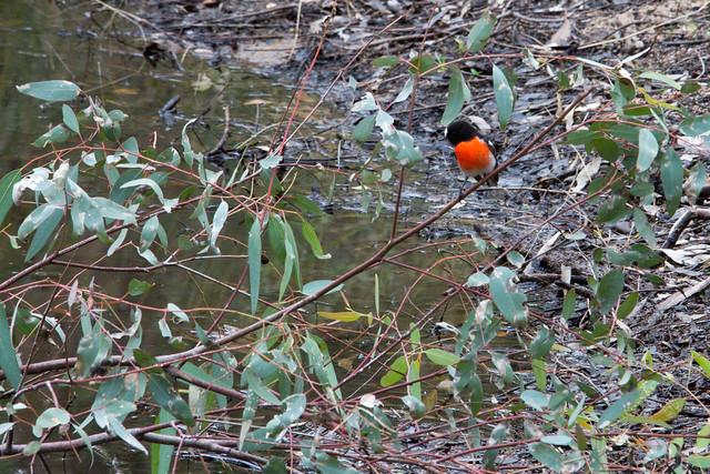 Scarlet Robin 2012-03-25 (_MG_5062)